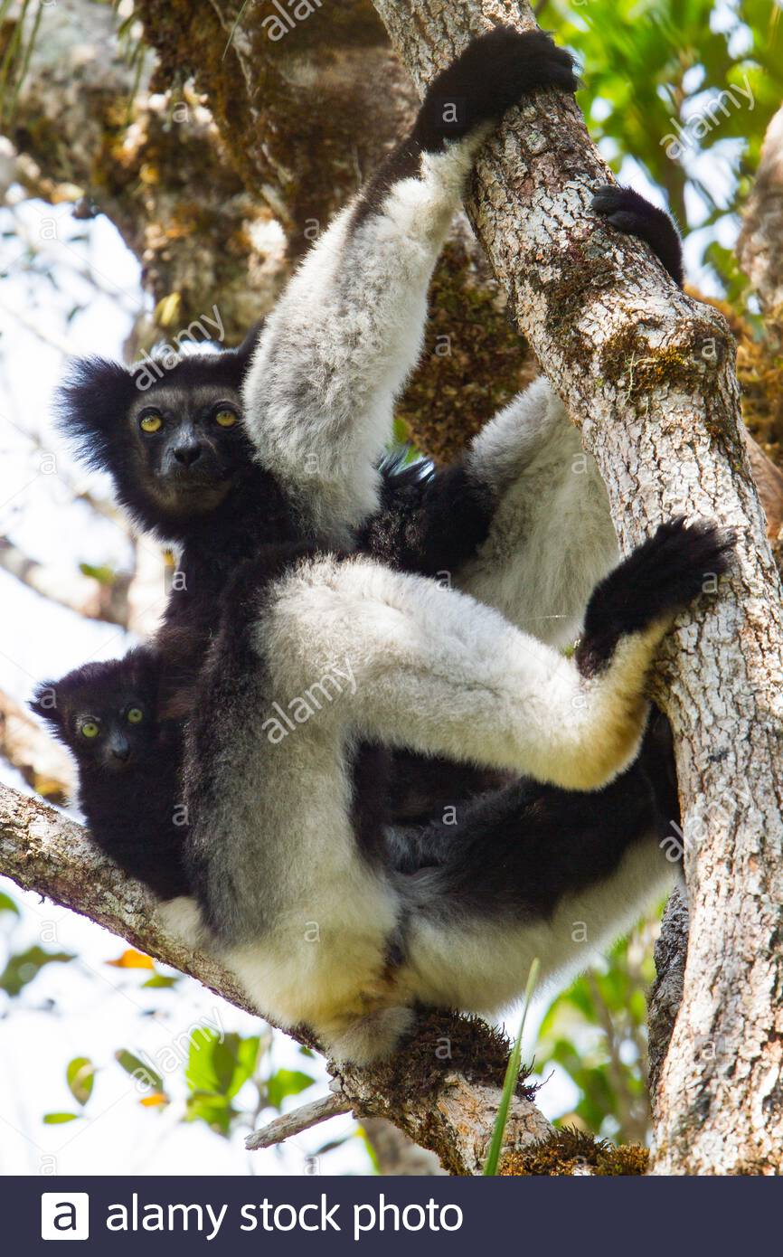 indri-of-babakoto-indri-indri-with-baby-resting-in-a-tree-madagascar-2B1R705.jpg