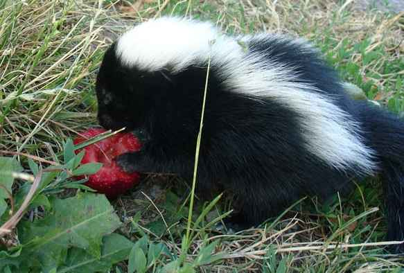 skunkberry.jpg