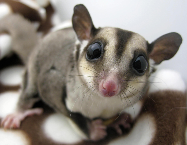 sugargliders.png